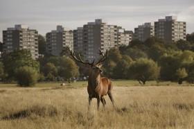 Deer, Richmond Park, London