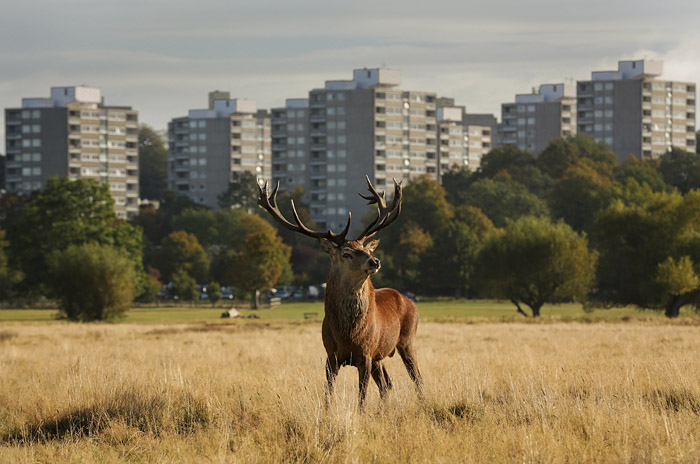 Deer,Richmond Park, UK.