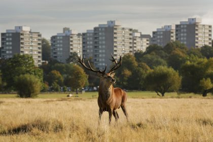Deer in Richmond Park, October 2012